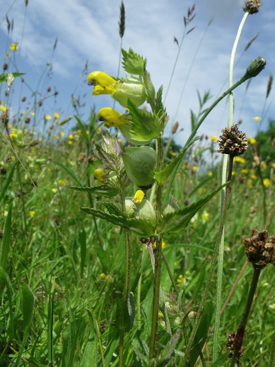Yellow Rattle, Trawscoed North plants 19 June 2013 056